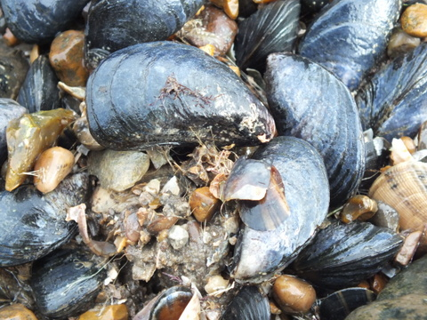 Common mussel Mytilus edulis Copyright: Peter Pearson