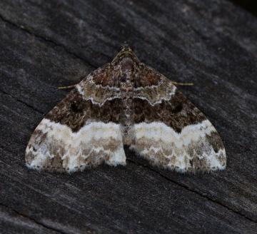 Sharp-angled Carpet  Euphyia unangulata Copyright: Graham Ekins
