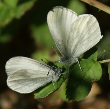 Wood White courtship 2 Copyright: Robert Smith