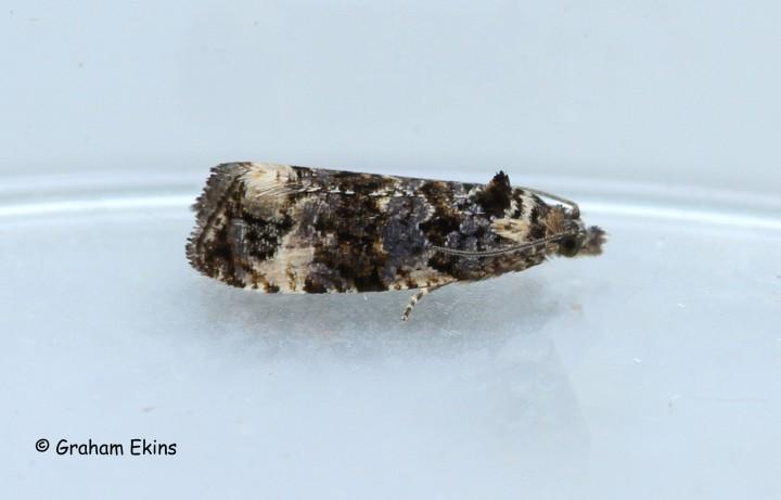 Endothenia gentianaeana 3 Copyright: Graham Ekins