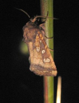 Fishers Estuarine Moth. Copyright: Stephen Rolls
