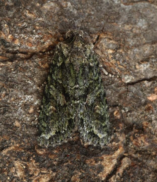 Dryobotodes eremita  Brindled Green 1 Copyright: Graham Ekins