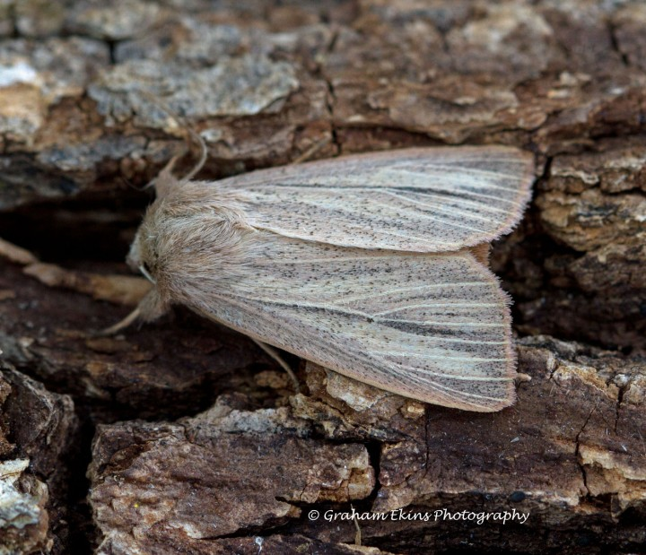 Striped Wainscot  Mythimna pudorina Copyright: Graham Ekins