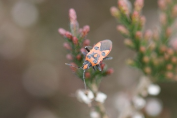Corizus hyoscyami on ling Copyright: Robert Smith