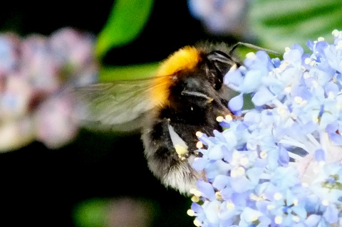 Tree Bumblebee 2 Copyright: Peter Pearson