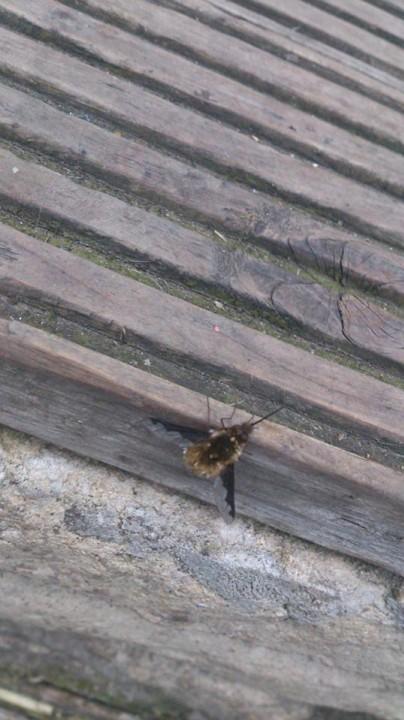 dark edged bee fly Copyright: Annette Guy