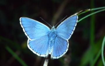 Lysandra bellargus Copyright: Peter Harvey