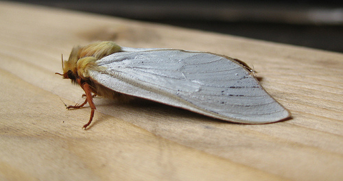 Ghost Moth Male. Copyright: Stephen Rolls