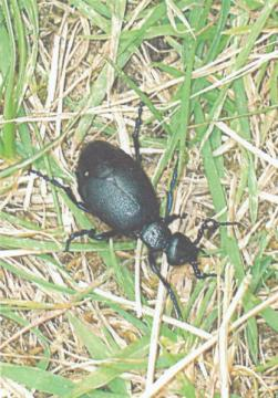 Oil Beetle Meloe proscarabaeus Copyright: Steve Wilkinson