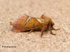 Orange Swift Triodia sylvina 1 Copyright: Graham Ekins
