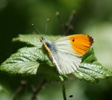 Orange Tip (m) Copyright: Robert Smith