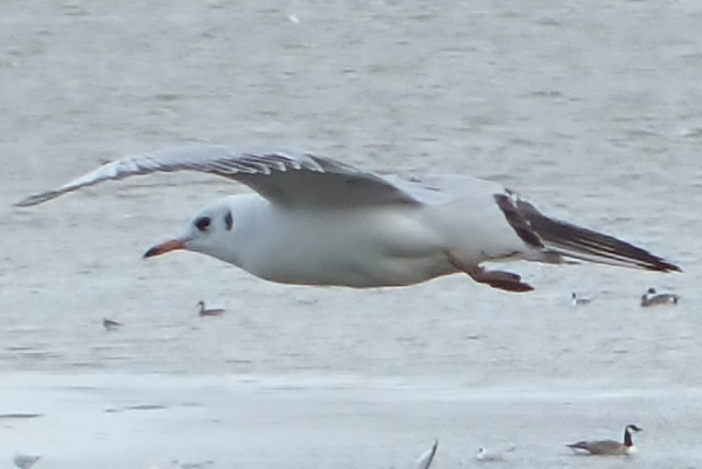 Black-headed Gull Copyright: Peter Pearson