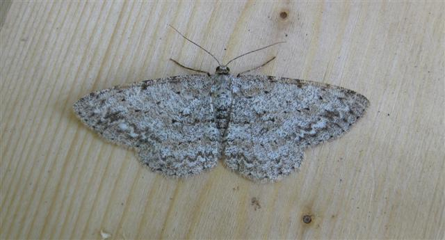 Engrailed Copyright: Stephen Rolls