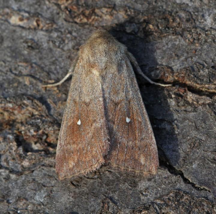 Mythimna albipuncta  White-point  3 Copyright: Graham Ekins