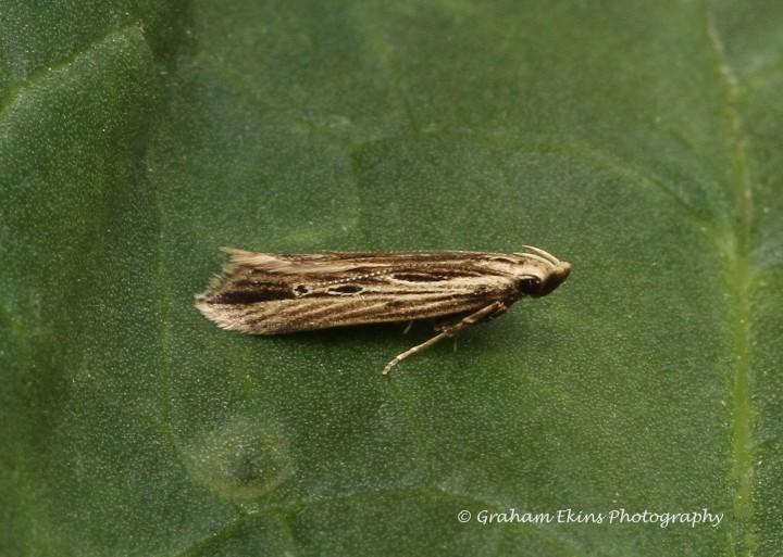 Monochroa palustrellus Copyright: Graham Ekins