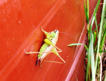 Roesel's Bush Cricket 3 Copyright: Graham Smith