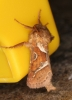 Orange Swift Triodia sylvina male Copyright: P.R. Harvey