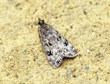 Eudonia truncicolella Copyright: Ben Sale