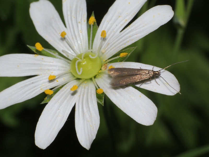 Metriotes lutaria moth on foodplant Greater stitchwort Copyright: Peter Furze