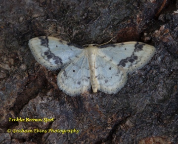 Treble Brown Spot  Idaea trigeminata Copyright: Graham Ekins