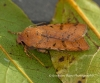 Beaded Chestnut  Agrochola lychnidis Copyright: Graham Ekins