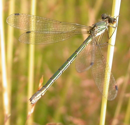 Scarce Emerald (F) Copyright: Malcolm Riddler