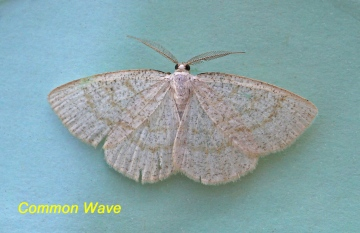 Cabera exanthemata   Common Wave Copyright: Graham Ekins