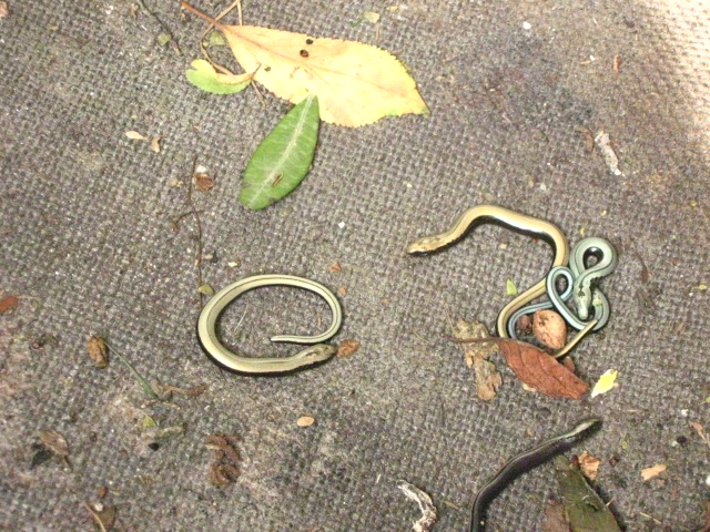 very young slow worms Copyright: Kim Prowse