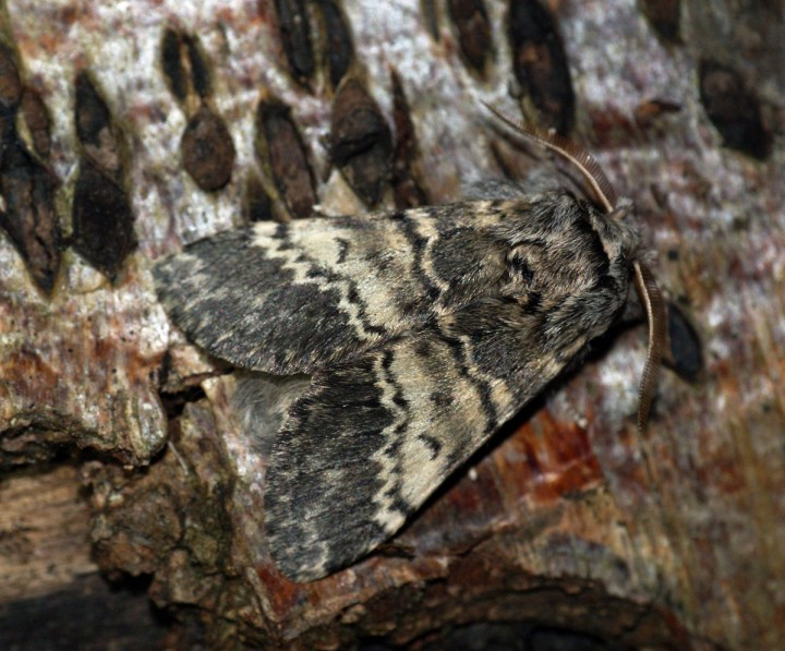 Lunar Marbled Brown 2 Copyright: Ben Sale