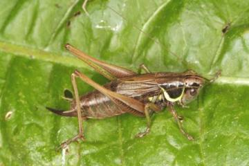 Metrioptera roeselii Copyright: Peter Harvey