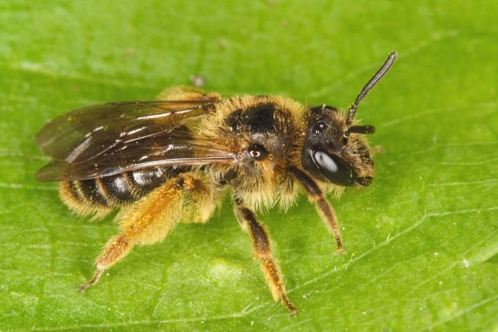 Andrena fulvago female Copyright: Peter Harvey