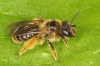 Andrena fulvago female Copyright: Peter Harvey