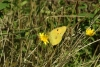 Clouded Yellow - 20th August 2013