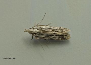 Anarsia innoxiella  3 Copyright: Graham Ekins