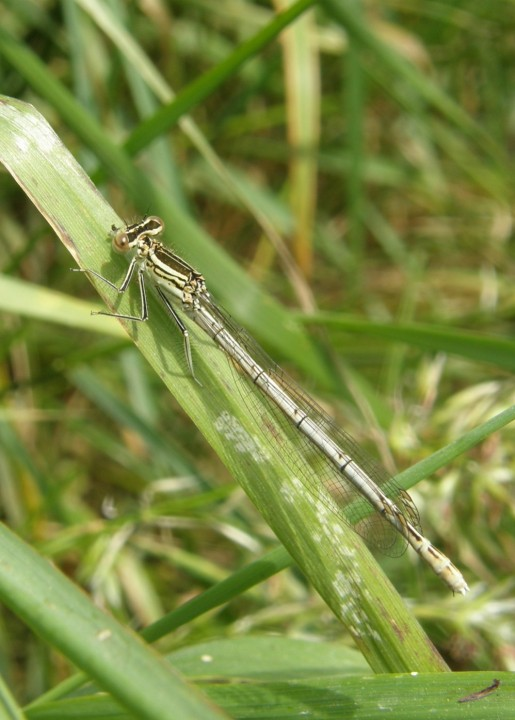 White-legged damselfly female Copyright: Sue Grayston