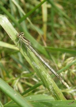 White-legged damselfly female Copyright: Sue Grayston