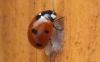 7-Spot Ladybird with Dinocampus chrysalis Copyright: Peter Pearson