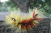 Caterpillar stage of Acronicta aceris (2) Copyright: Justin Carroll