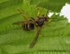 Dolichovespula media 2 Copyright: Graham Ekins