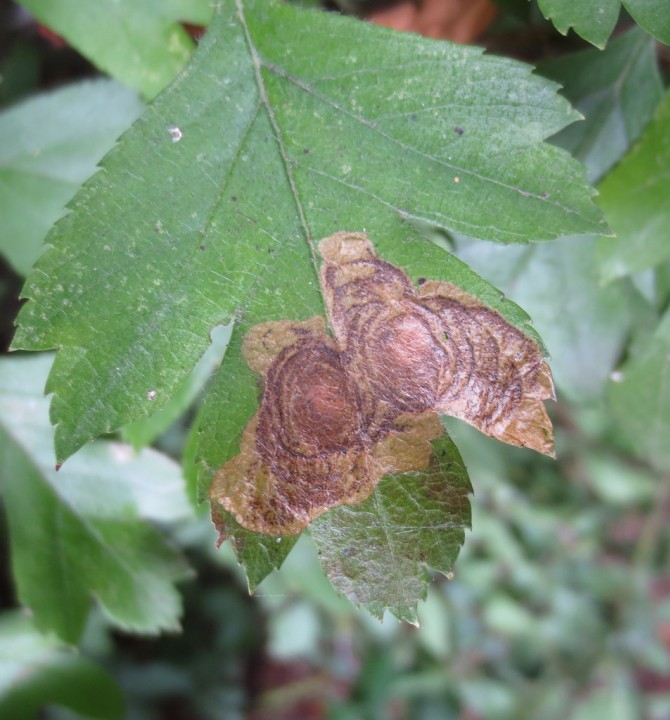 Leucoptera malifoliella Copyright: Stephen Rolls