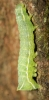 Copper Underwing larvae Copyright: Robert Smith