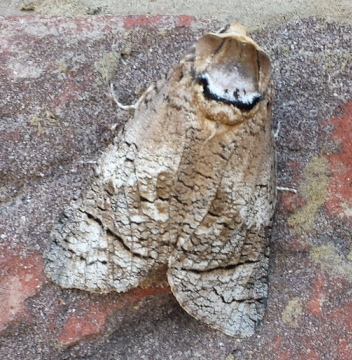 Goat moth Copyright: Richard and Lesley Beeton