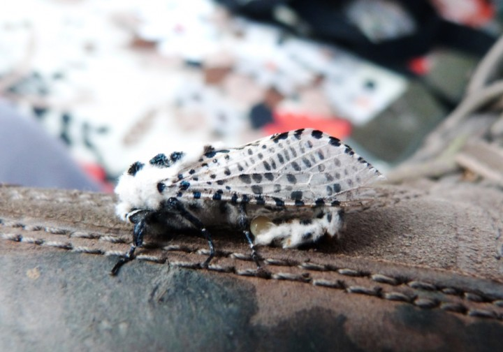 Leopard Moth 3 Copyright: Graham Smith