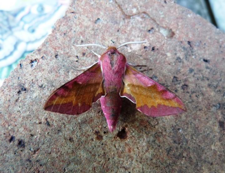 Small Elephant Hawk Moth Copyright: Graham Smith