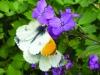 Anthocharis cardamines (Orange-tip) Copyright: Martyn Everett