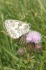 Marbled white on thistle Copyright: Sue Grayston