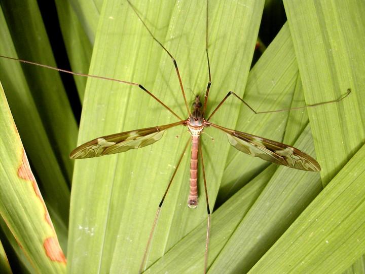 Tipula maxima Copyright: Robin Barfoot