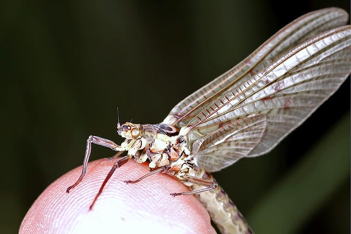 Ephemeroptera sp - 2 (16 May 2011) Copyright: Leslie Butler