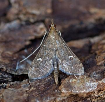 Dolicharthria punctalis 2 Copyright: Graham Ekins