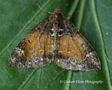 Common Marbled Carpet (Dysstroma truncata) Copyright: Graham Ekins